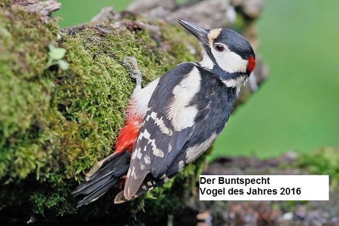 Vogel des Jahres 2016-Bundspecht